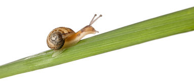 Garden snail on leaf, Helix aspersa Royalty Free Stock Photos