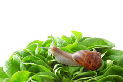 Garden snail on leafs Royalty Free Stock Images