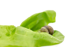 Garden snail on a lettuce leaf Stock Photography