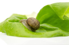 Garden snail on lettuce leaf Royalty Free Stock Photo
