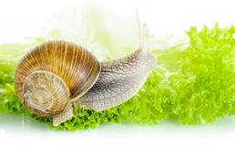 Garden snail on lettuce leaf Royalty Free Stock Images