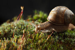 Garden snail in moss Royalty Free Stock Photography