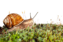 Garden snail in moss Royalty Free Stock Image