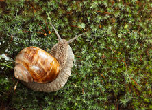Garden snail on moss Royalty Free Stock Photography