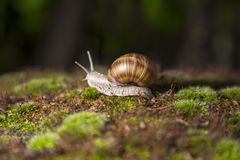 Garden snail moving on grass. Garden snail with brown shell Stock Photo