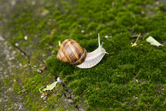Garden snail moving on grass. Garden snail with brown shell moving in the garden Royalty Free Stock Photo
