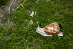 Garden snail moving on grass. Garden snail with brown shell moving slowly on green algae/grass Royalty Free Stock Images
