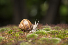 Garden snail moving on grass. Garden snail on green and brown grass Stock Photo