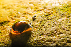 The garden snail. Royalty Free Stock Image