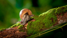 Garden snail in natural habitat Royalty Free Stock Image