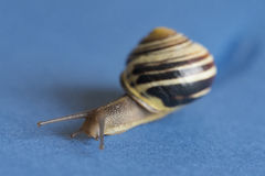 Garden snail over blue background Royalty Free Stock Image