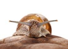 Garden snail portrait Stock Images