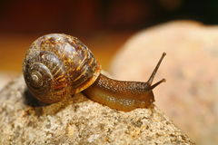 Garden snail with pretty brown shell on granite rock. Royalty Free Stock Photos