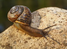 Garden snail with pretty brown shell on granite rock. Royalty Free Stock Images