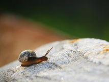 Garden snail with pretty brown shell on granite rock. Royalty Free Stock Photo
