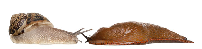 Garden snail and Red slug, Arion rufus. In front of white background Stock Images