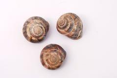 Garden snail shells (Helix aspersa) Royalty Free Stock Photo