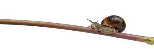 Garden snail on stick, Helix aspersa Royalty Free Stock Images