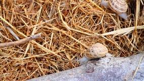 Garden snail on straw stock video
