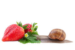 Garden Snail and Strawberry Stock Photo