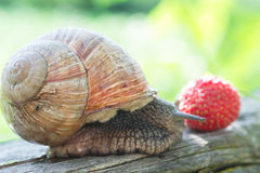 Garden snail and a strawberry Stock Photo