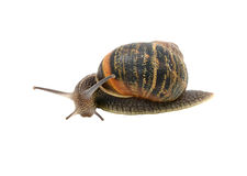 Garden snail with striped shell turning forwards inquisitively Stock Images
