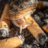 Garden Snail Tasting Cigarette Butts in an Ashtray Stock Images