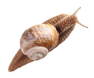 Garden snail top view Royalty Free Stock Images