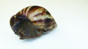 Garden Snail stock footage