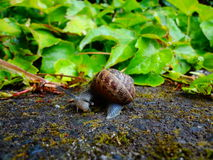 Garden Snail Stock Photography