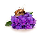 Garden snail on violet  hydrangea flower isolated . Royalty Free Stock Images