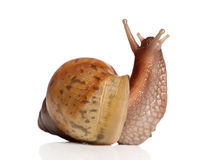 Garden Snail on white background Stock Photo