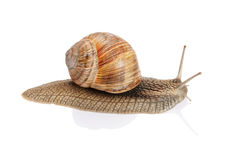 Garden snail on white background. Garden snail on a white background stock photos