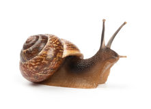Garden snail on white background. Garden snail on a white background royalty free stock image