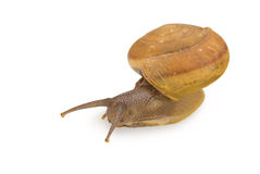 Garden Snail on white background Royalty Free Stock Photography