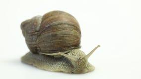 Garden snail on white stock video