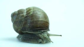Garden snail on white stock footage