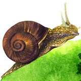 Garden snail on white background Royalty Free Stock Image
