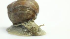 Garden snail on white stock video footage