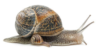 Free Garden Snail With Its Baby In Front Of White Royalty Free Stock Photos - 22173678