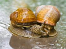 Garden snails. Getting intimate in the reain Stock Photography