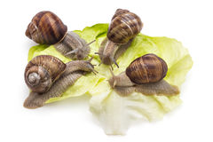 Garden snails. Four garden snails Helix aspersa on fresh lettuce leaf isolated on white background. Teamwork concept Royalty Free Stock Photography