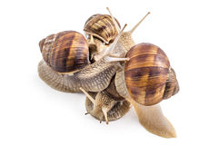 Garden snails Royalty Free Stock Photography