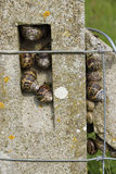 Garden snails, helix aspersa, group nestling on a concrete post, Royalty Free Stock Image