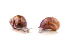Garden Snails isolated on white Royalty Free Stock Photos