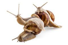 Garden snails Stock Images