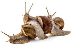 Garden snails Royalty Free Stock Image