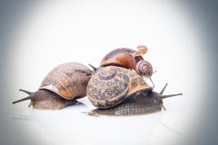 Garden snails on top of each other color processed Stock Photos