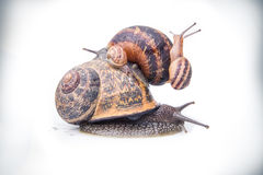 Garden snails on top of each other Royalty Free Stock Image