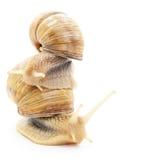 Garden snails. Stock Photography
